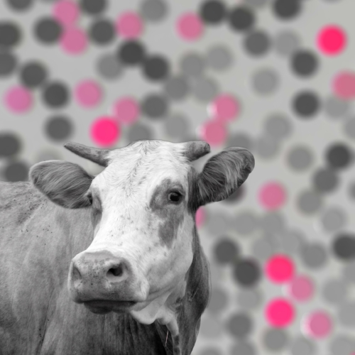 Cow + Pink dots