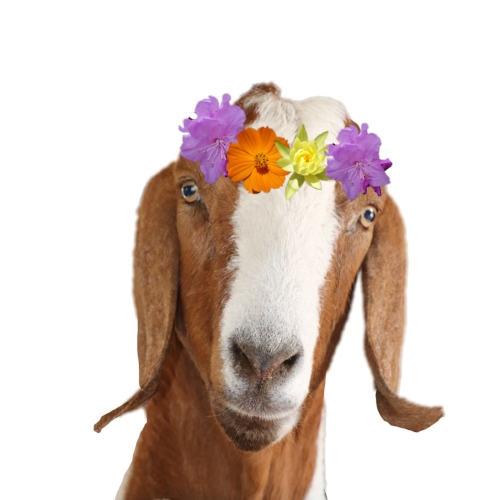 Pretty goat