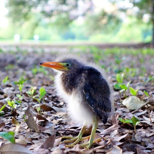 Baby blue heron