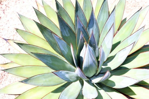Agave perfection