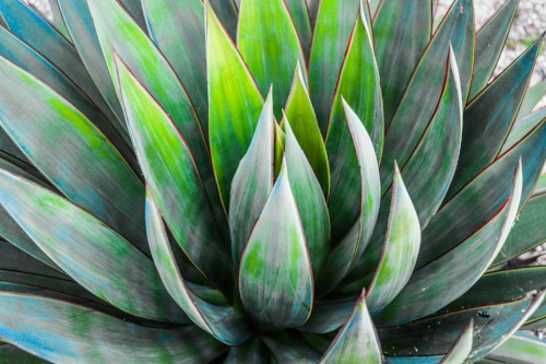 Agave greens + Blues