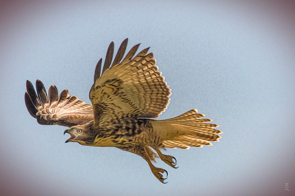 hawk_in_flight