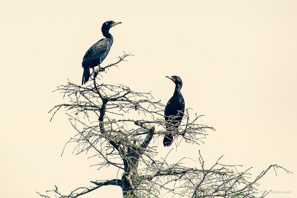 cormorant corner