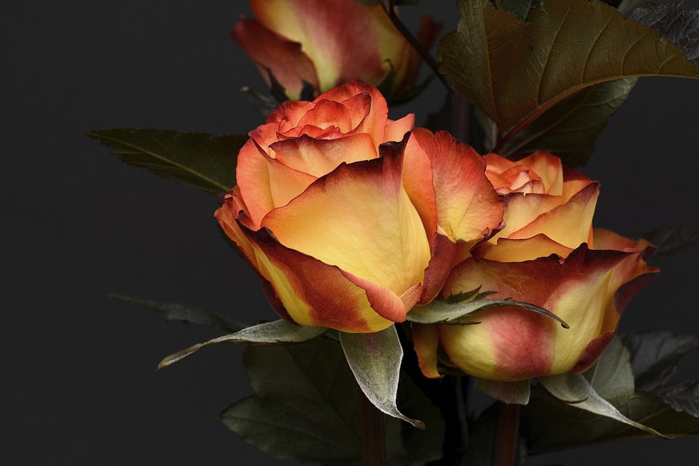 rose-3063284_1920.jpg