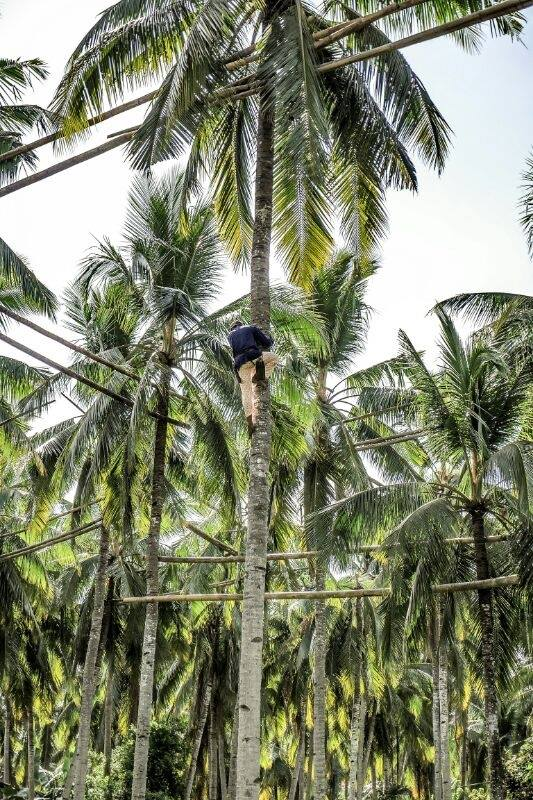 - He climbs the coconut tree with his bare hands and feet. Each grasp, with a firm grip. Each step carefully calculated.