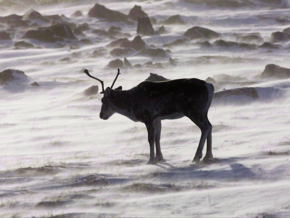 A wild caribou roams the tundra near The Meadowbank Gold Mine located in the Nunavut Territory of Canada on March 25, 2009. The first federal survey of what the provinces are doing to preserve caribou says both herds and and habitat continue to generally decline. THE CANADIAN PRESS/Nathan Denette