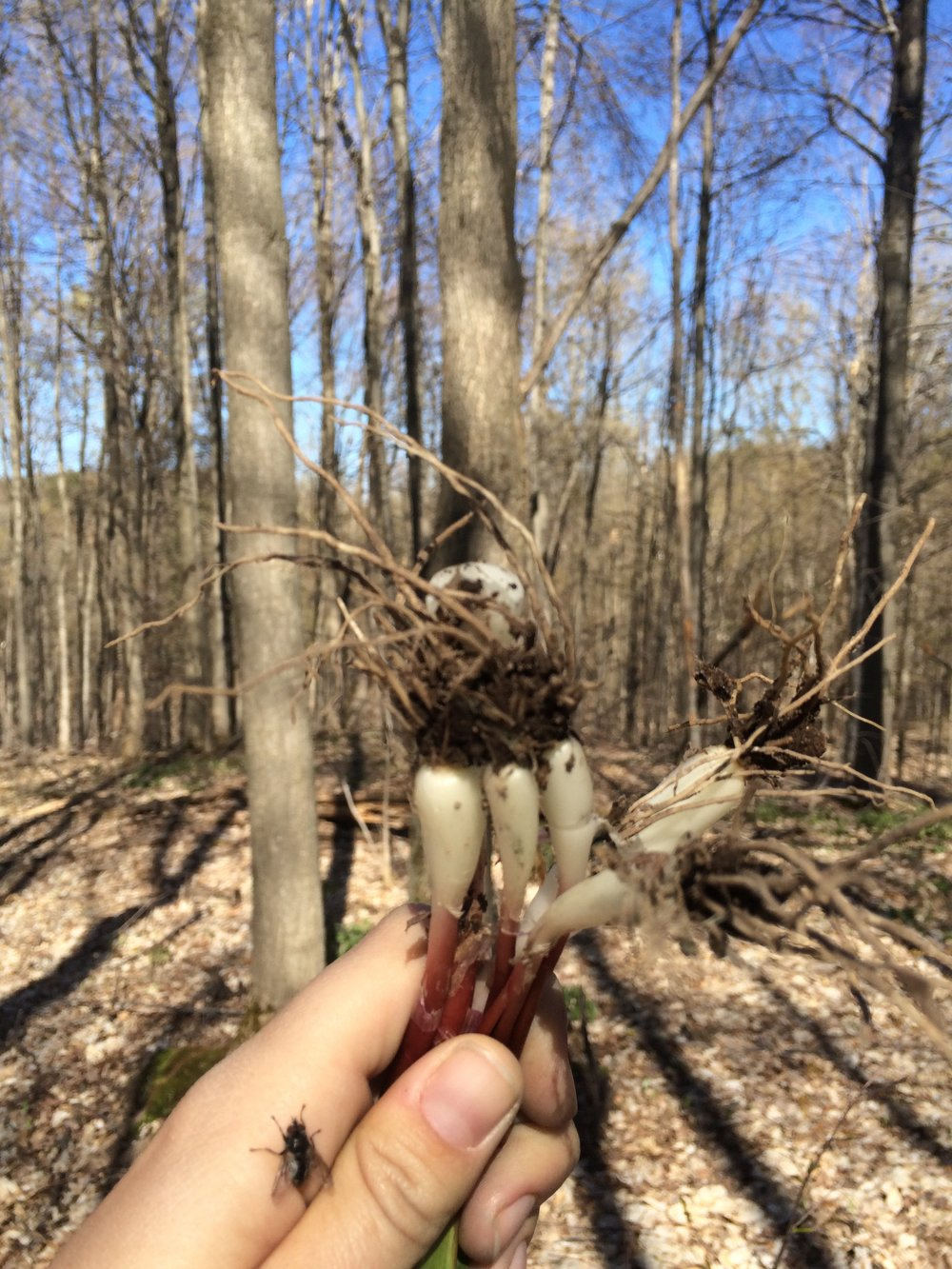 First forage from the land, thrilled to find a patch of ramps(wild leeks) in the woods.