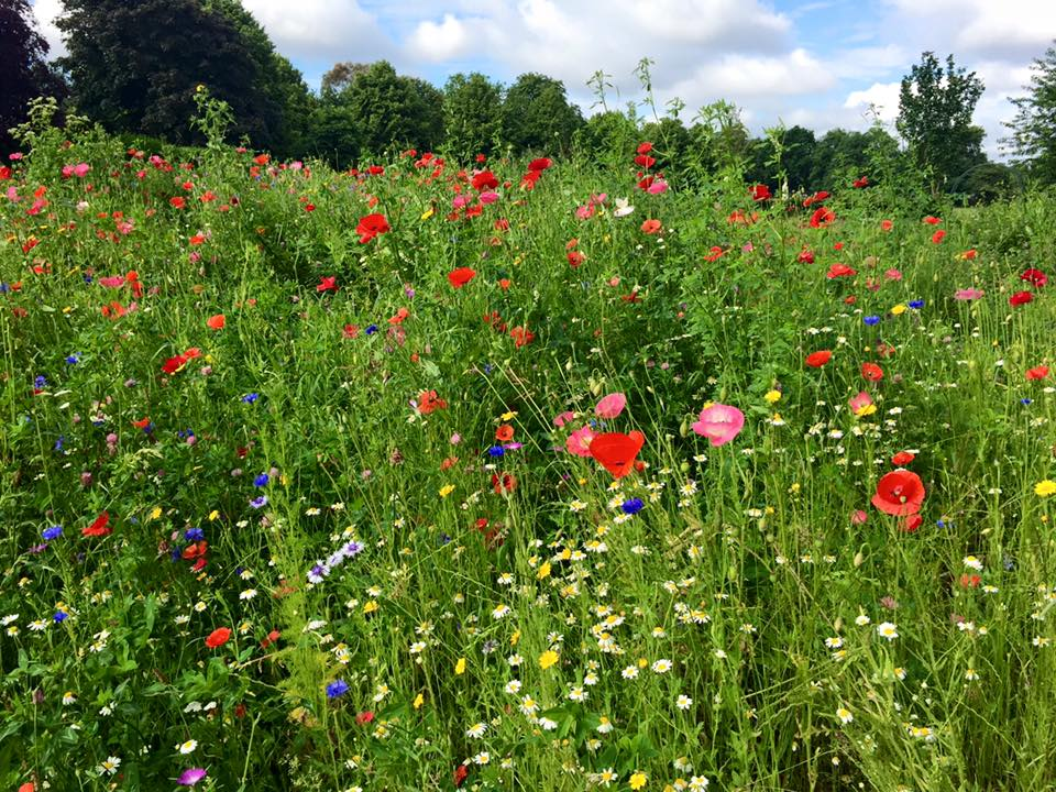 Field of wild flowers on the Pitshanger park runners route, Ealing