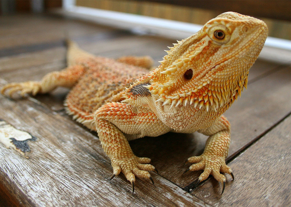 img-animal-Bearded-Dragons.jpg