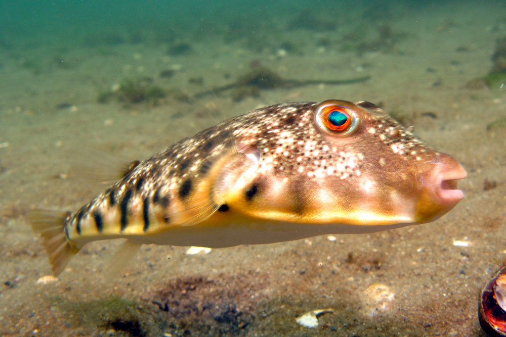 blowfish.jpg
