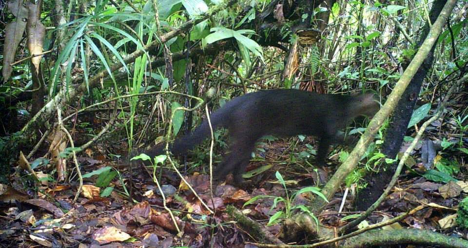 León breñero, Jaguarundi -Puma yagouaroundi .jpg
