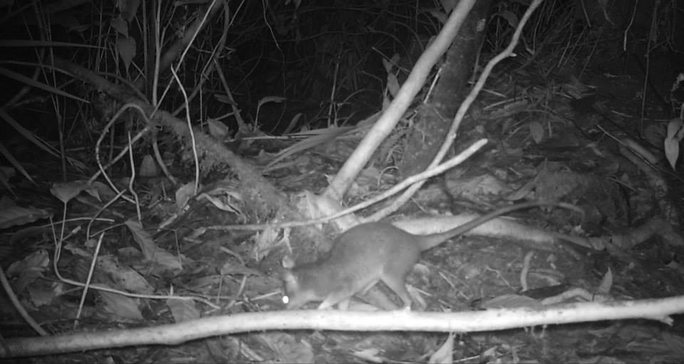 Zorro de balsa,Gray Four-eyed Opossum -Philander opossum copy.jpg