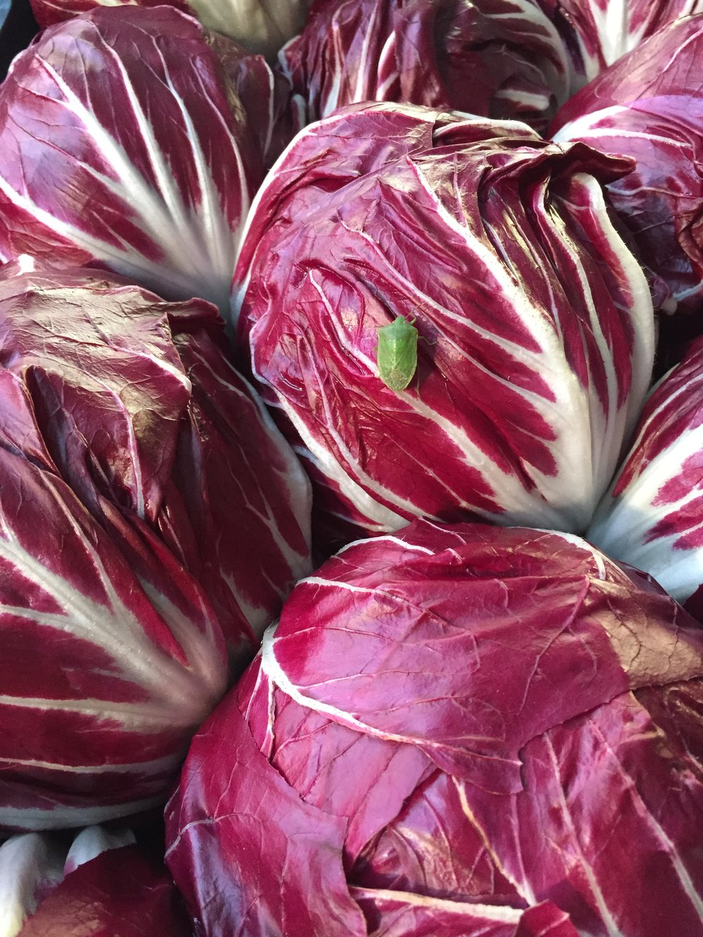 Round Radicchio  Photo © Puntarelle & Co Ltd