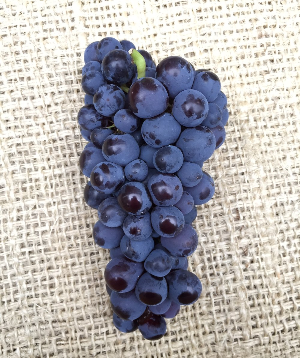 Muscat grape     Photo © Puntarelle&Co