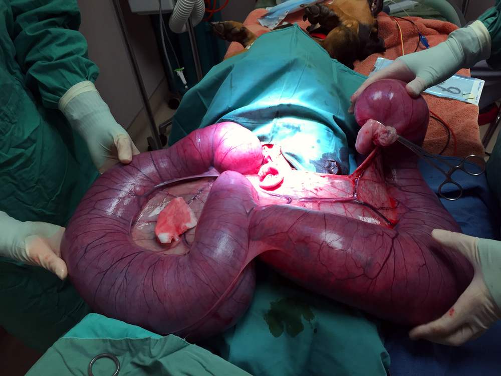 Dotty-15.5-Pound-Uterus-Emergency-Pyometra-Spay