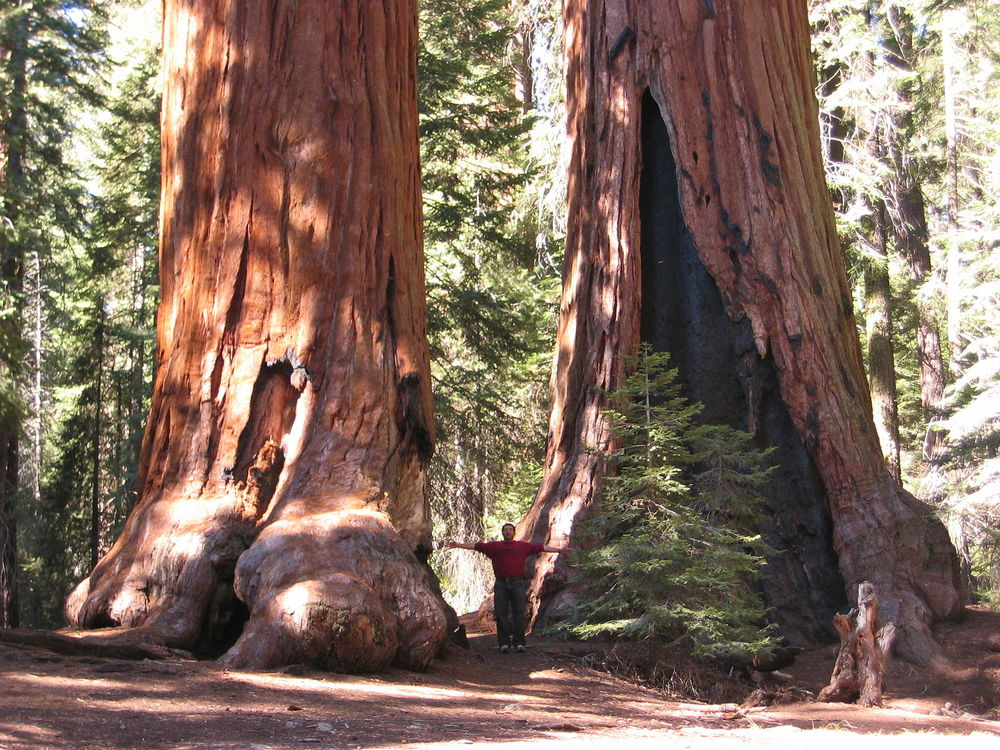 Sequoia_trees.JPG