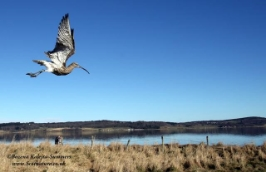 Curlew released with geolocator