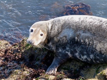 Grey seal - one of the creatures in the series