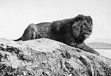 Barbary lion