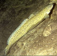 Burbot - fresh water cod