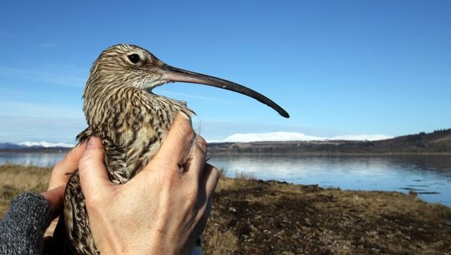 curlew in hand.jpg