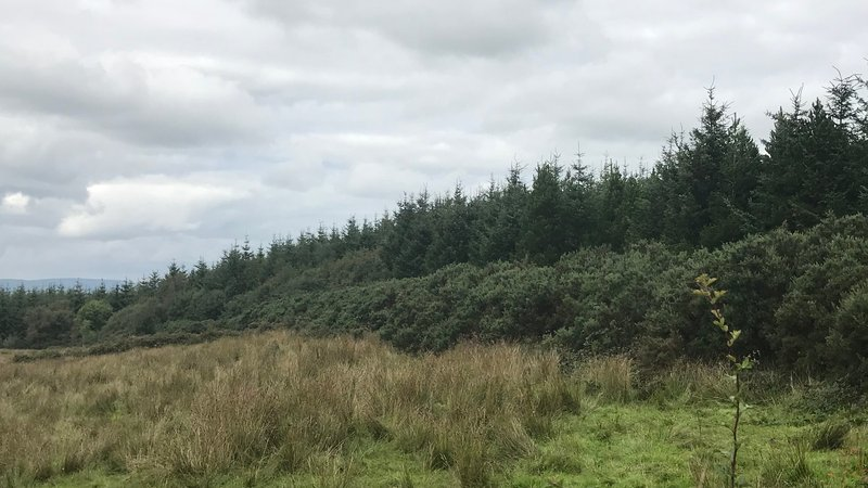 Sitak spruce planation in Ireland