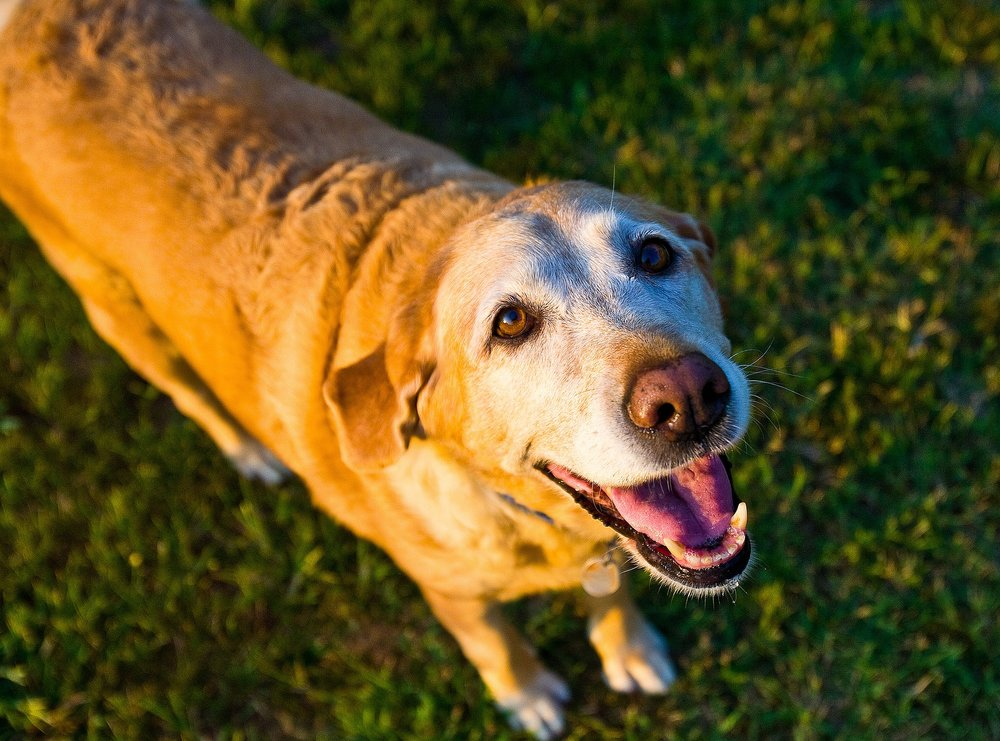 old-dog-1582205_1920.jpg