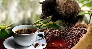 luwak coffee animal.jpeg