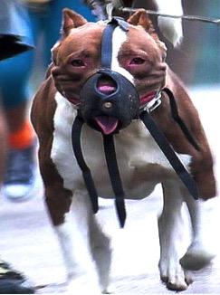 pitbull_muzzle