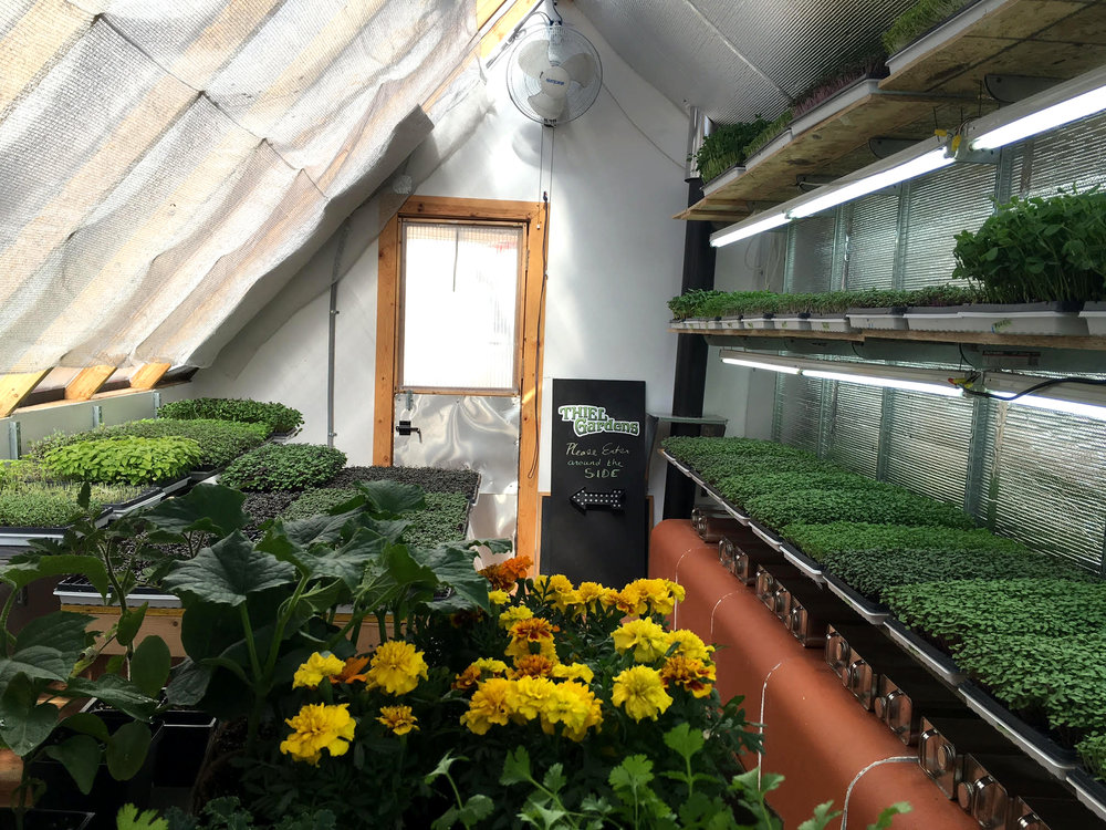 Rows of microgreens are waiting to be snipped at just the right time.