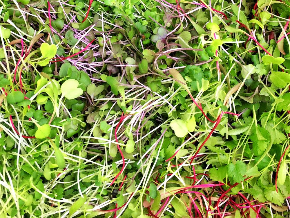A vibrant mix of beet, mizuna, tatsoi, kale, red cabbage, cilantro, and Tokyo bekana