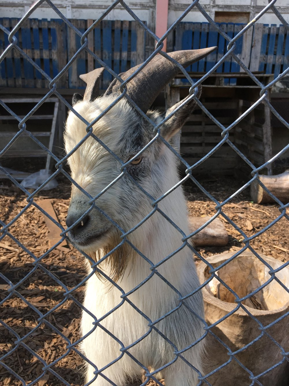 Taco, the urban pygmy goat