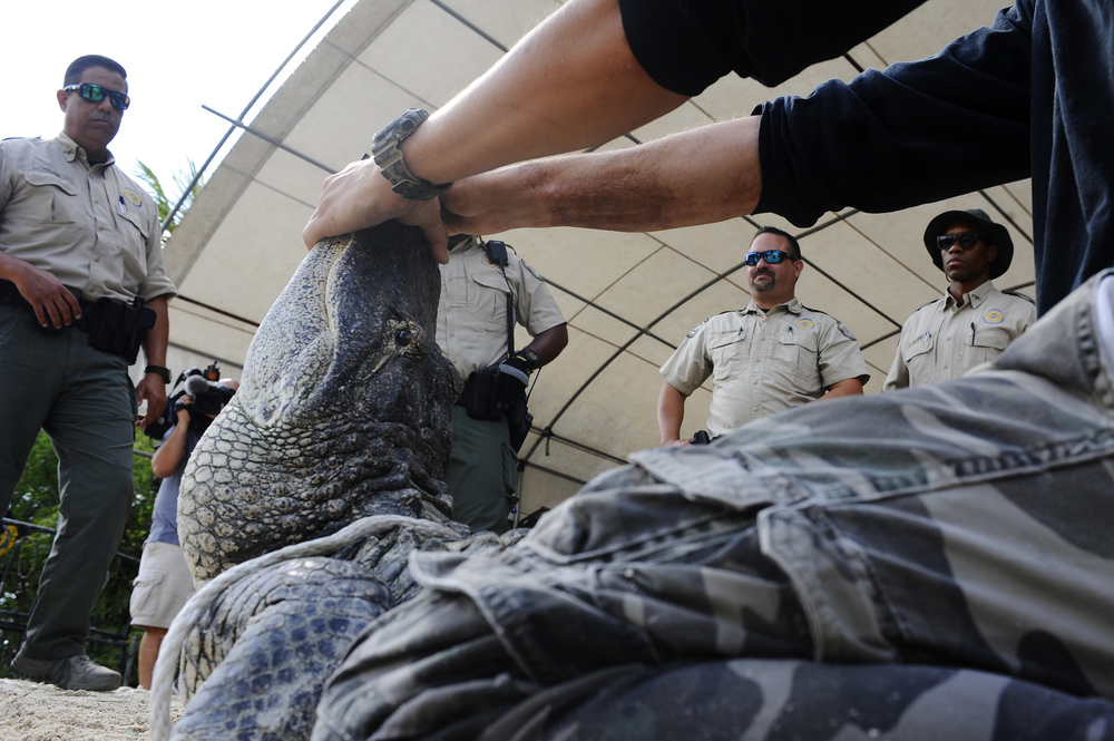 "The Florida Fish and Wildlife Conservation Commission (FWC) officers learn step by step how to safely handle and transport alligators away from population centers during their training at Everglades Alligator Farm in Homestead, Florida, on May 25, 2016. FWC spokesman Lorenzo Veloz said ""they teach us things that as officers we really don't learn."""