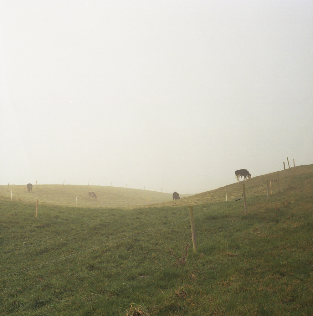 cowsandfog.jpg