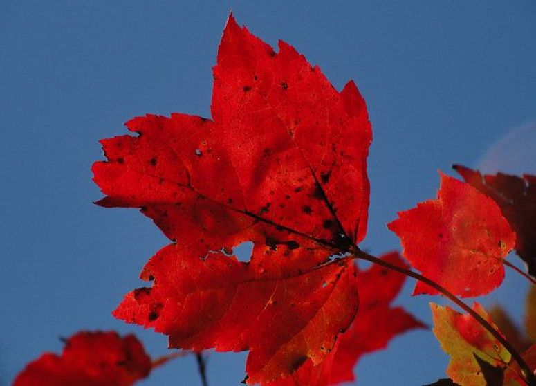 Red maple leaves in the Catskill Mountains. Photo Mike Greenlar for The Post Standard.