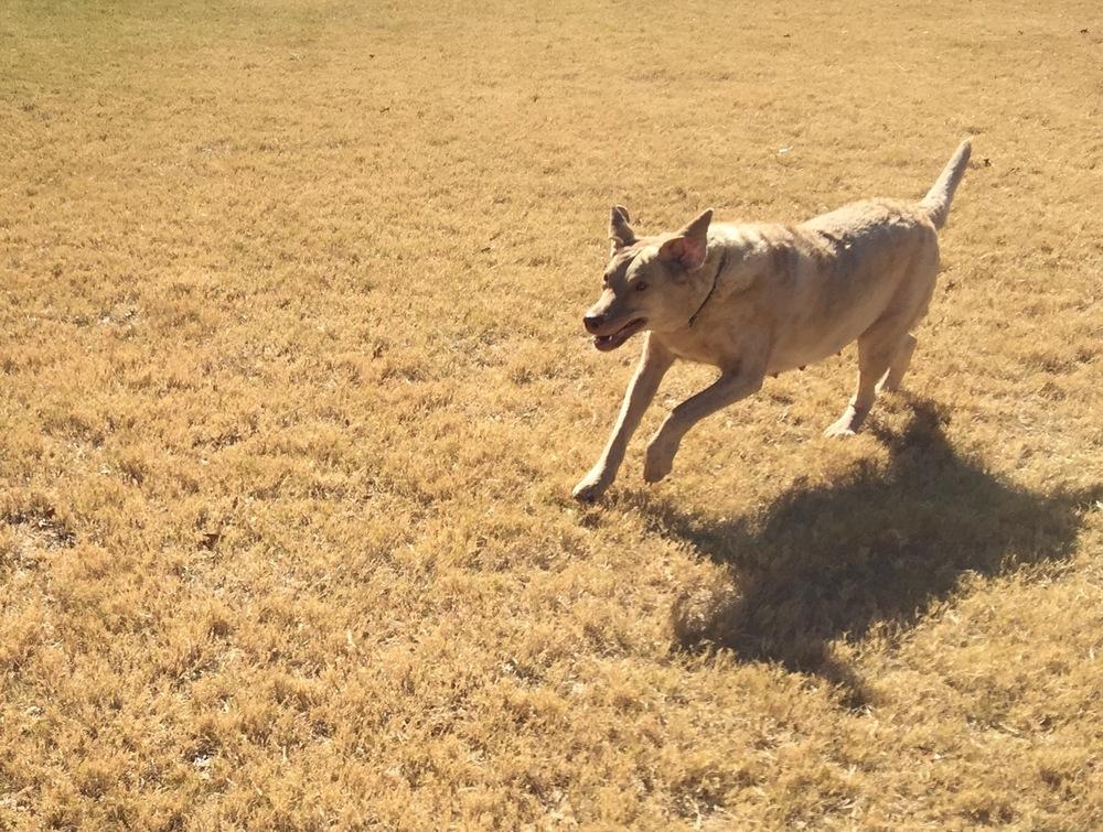 Cheyenne running.JPG