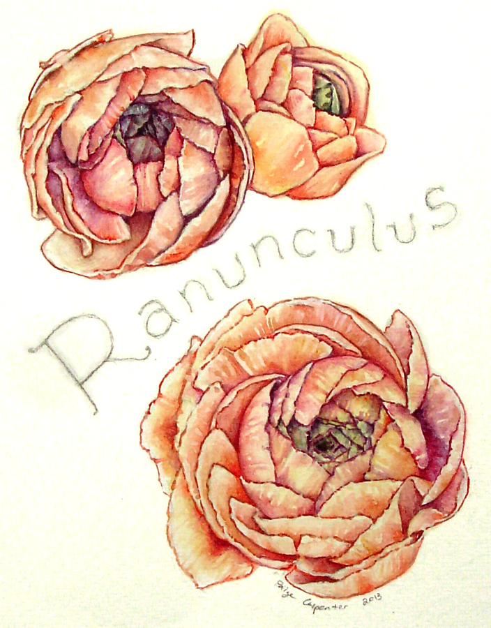 Ranunculus_PCarpenter