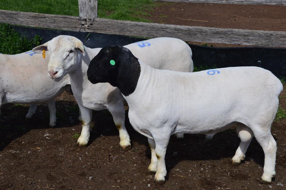 Rams and ewe from Dubbo Sale 2014 (3).JPG