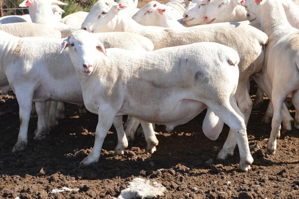 White Dorper Sale Rams Feb 2015 (5).JPG