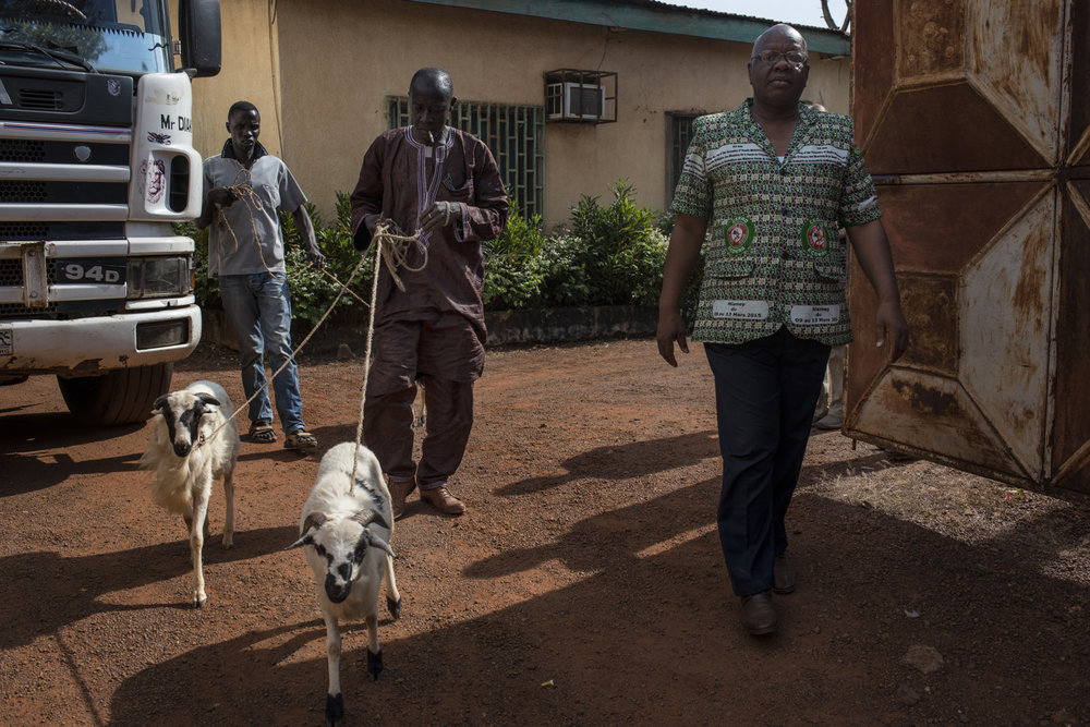 Dr Robert Camera, The Directior National de la Prevention et Sant� Communaitaire walks outside his office in Faranah, Guinea alongside two goats that were given to the JHIPAGO trainers as a gift of thanks.
