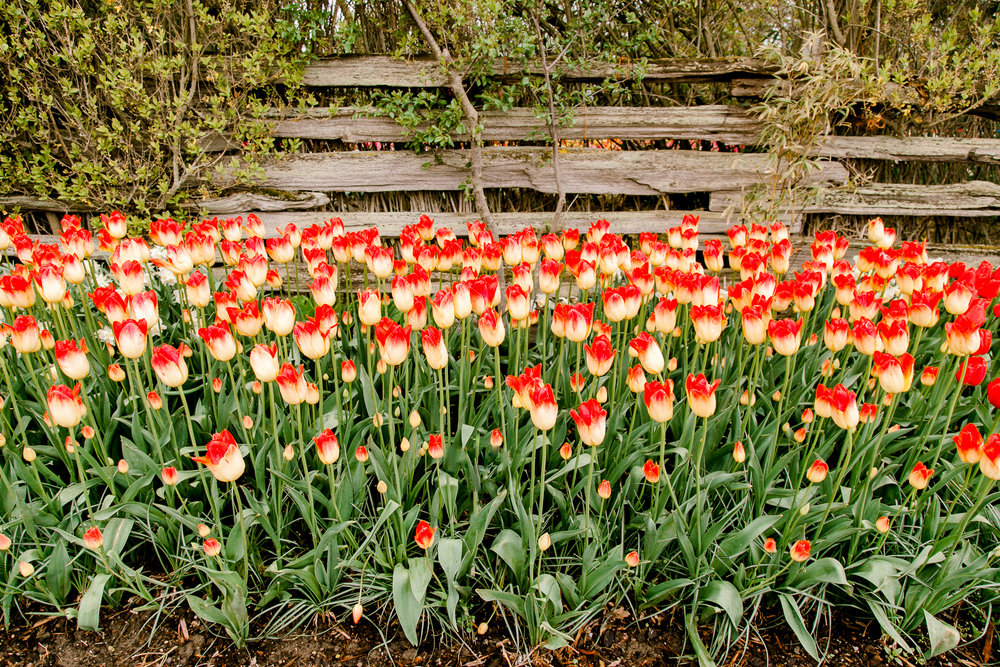 tulips-skagit-wa-abbey-taylor-1.jpg