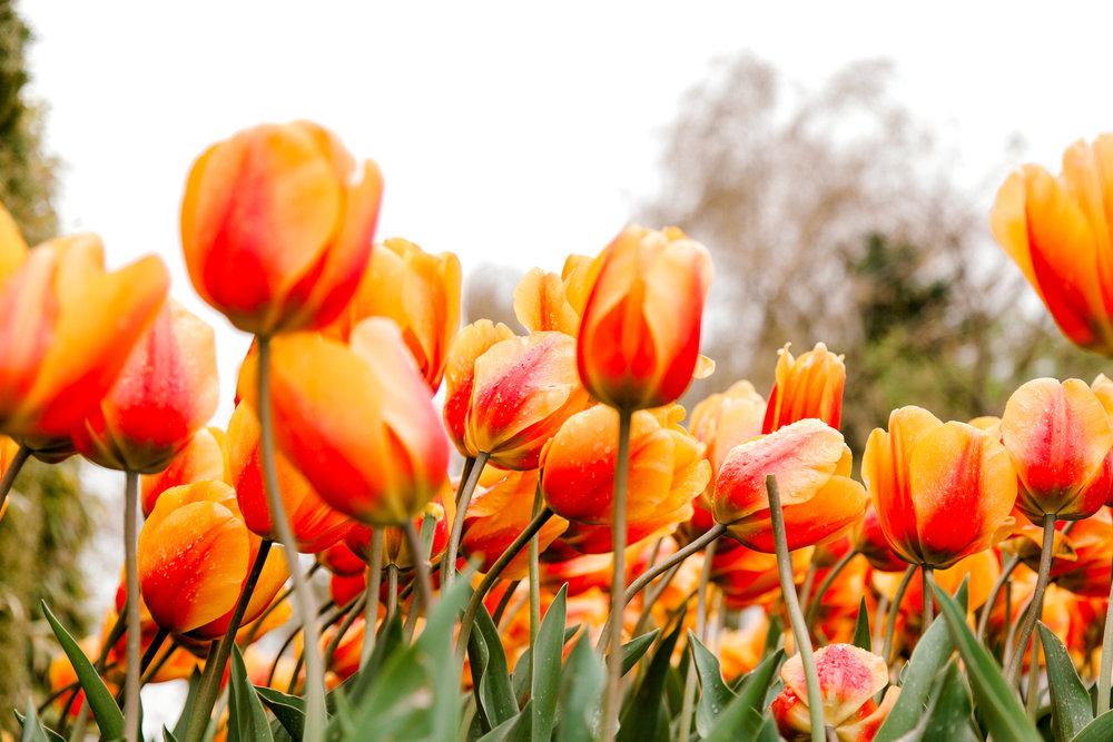 tulips-skagit-wa-abbey-taylor-2.jpg