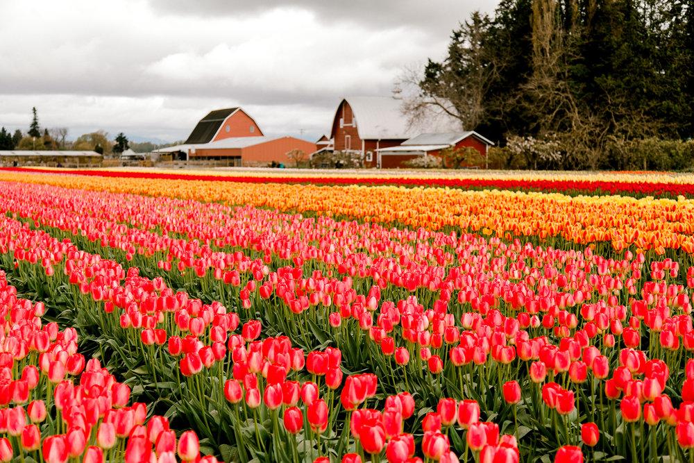 tulips-skagit-wa-abbey-taylor-3.jpg