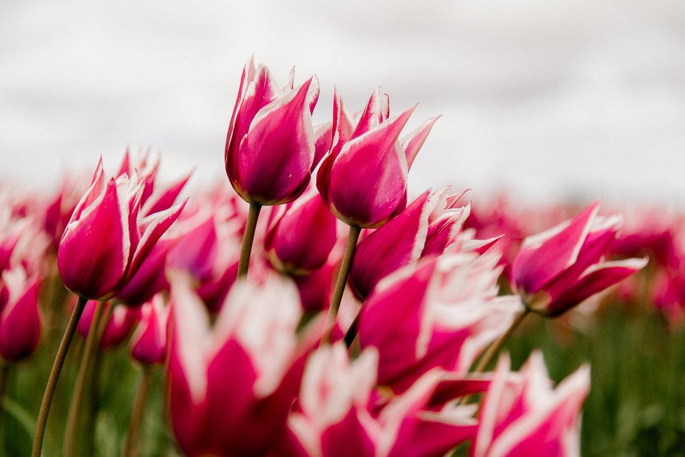 tulips-skagit-wa-abbey-taylor-4.jpg