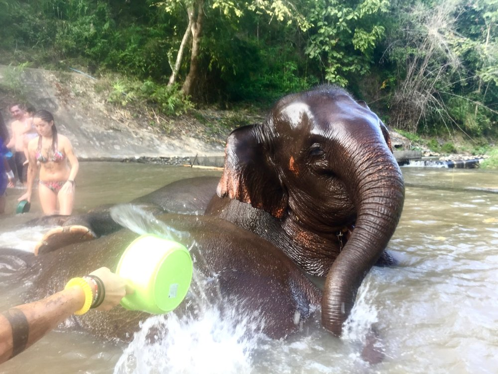 Bathing baby elephants at the Elephant Rescue Sanctuary in Chiang Mai.