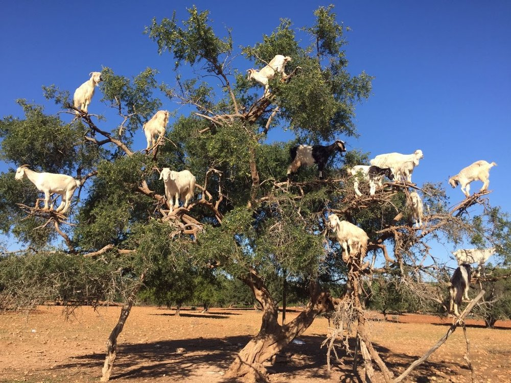 Goats in Argan Trees