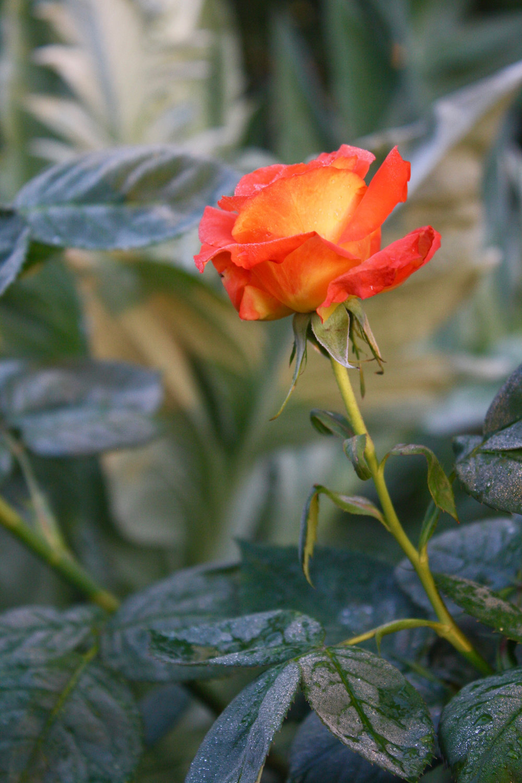 Rosa 'France Libre'