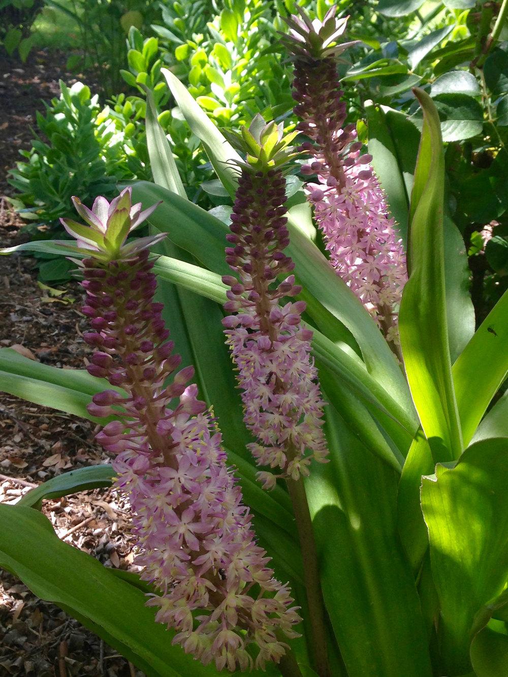 Pineapple lily ( Eucomis comosa  'Sparking Burgundy')