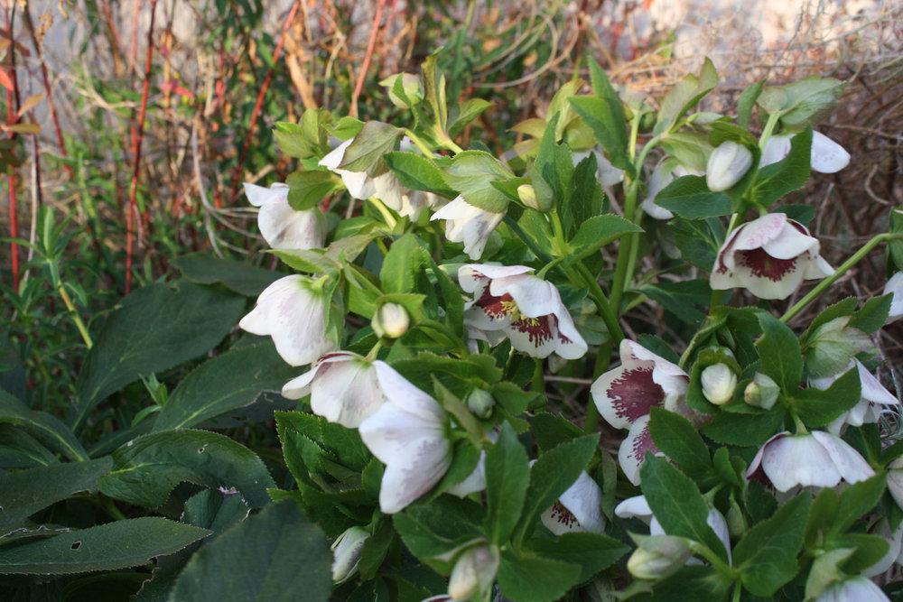 Helleborus x hybridus 'White spotted'