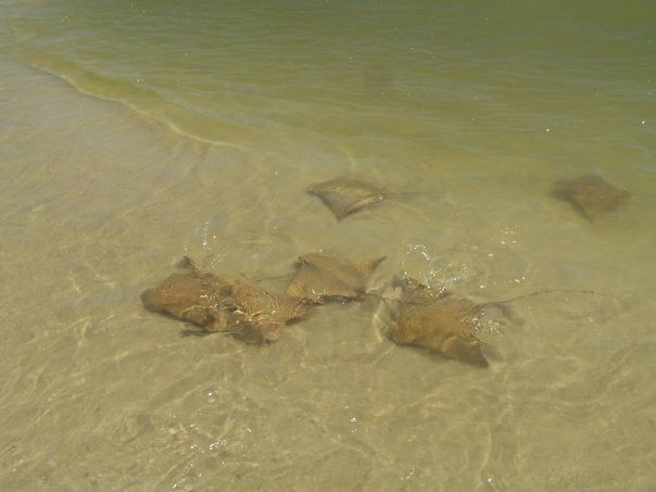 A school of cownose rays foraging along a shallow sandflat